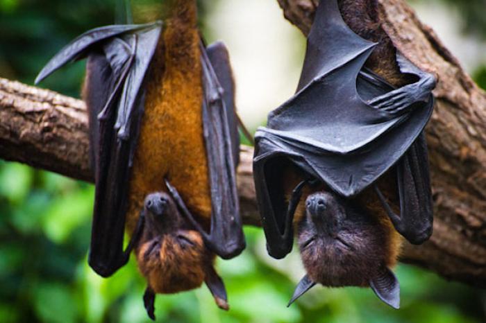 Los murciélagos no son culpables del coronavirus: experto de la UNAM