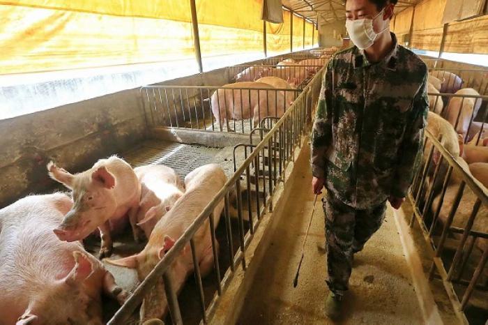Alertan de una nueva cepa de gripe porcina que podría convertirse en pandemia