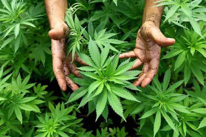 La ONU saca al cannabis de la lista de drogas más peligrosas